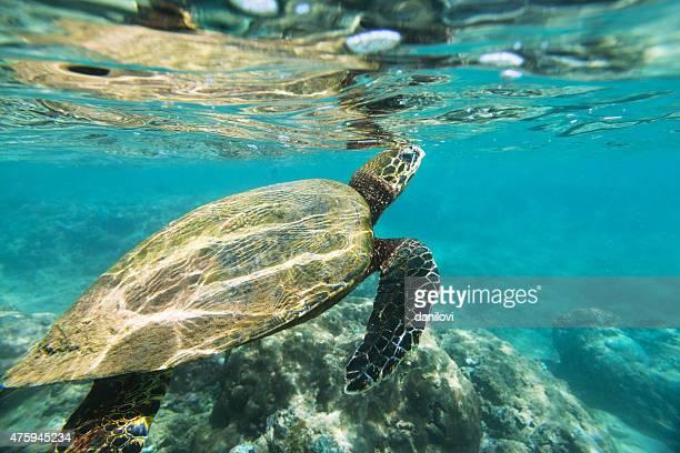 The hawksbill sea turtle (Eretmochelys imbricata)