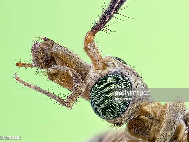 The head of a Crane fly (Tipula paludosa) close-up.