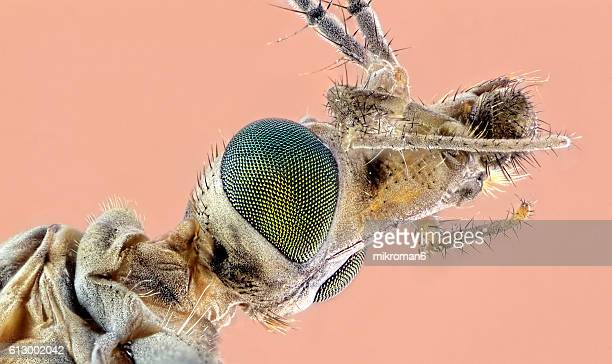 the head of a crane fly (tipula paludosa) close-up. - mosquito stock photos and pictures