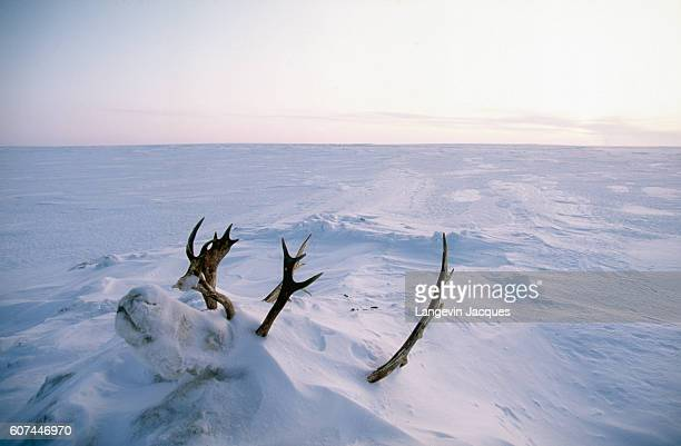 The head of a reindeer protrudes from a snow drift near the village of Syndassko Russia The Dolgans traditionally a nomadic people who live along the...