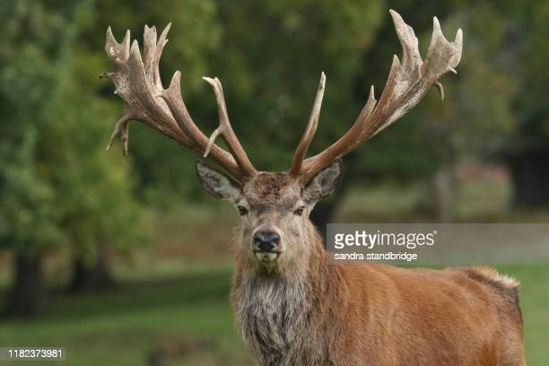 the head shot of a magnificent red deer stag, cervus elaphus, standing in a field at the edge of woodland during rutting season. - アカシカ ストックフォトと画像