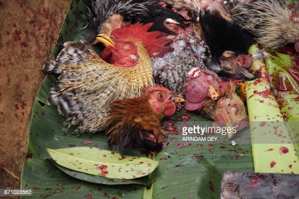 The heads of chickens sacrificed by an Indian Hindu priest are placed on a banana leaf during a ritual at the altar of the tribal deity 'Garia'...