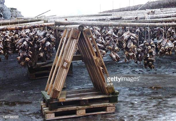 The heads of migrating and spawning eastArctic cod or Skrei of the old Norse term for 'the wanderer' dry on racks just outside Svolvaer the largest...