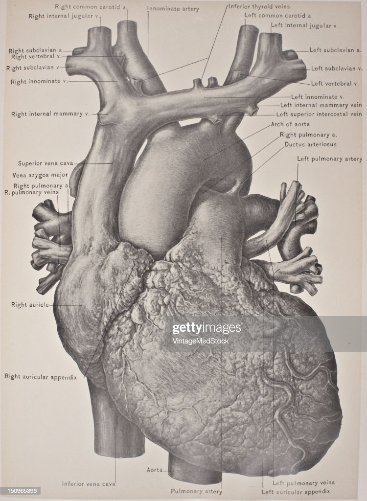 The Heart Is A Myogenic Muscular Organ Found In All Animals With A