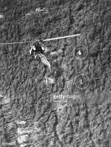 The helicopter hovers near the fleering elk as the tranquilizer gun is fired at the cow in front The Shot was accurate and the elk fell dead in 55...