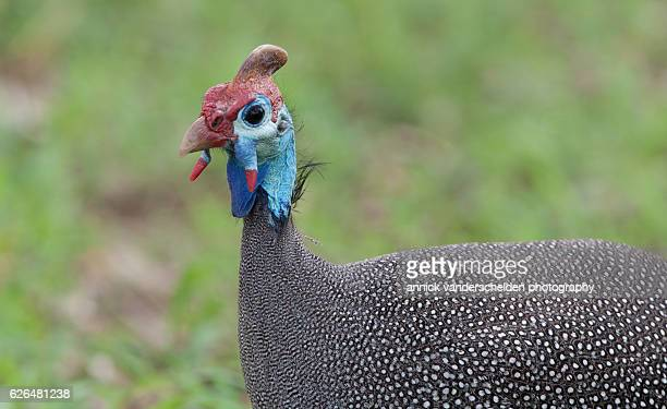 the helmeted guineafowl (numida meleagris) - guinea fowl stock pictures, royalty-free photos & images