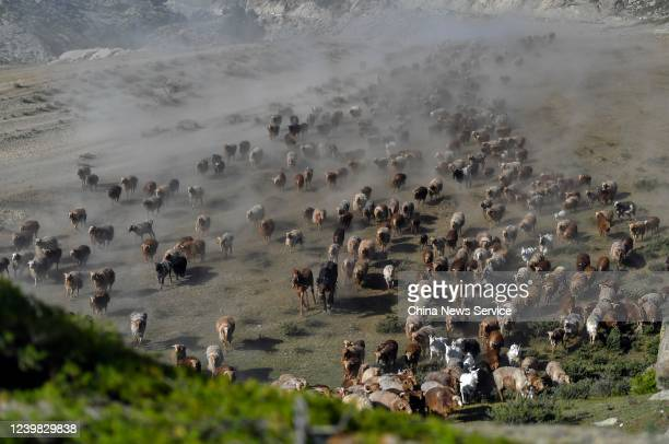 The herd move to summer pasture at Fuhai County on June 1 2020 in Altay Prefecture Xinjiang Uygur Autonomous Region of China