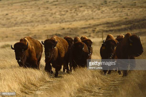 The herd of bison run on the 1000 acres of prairie land November 1 2015 at Soapstone Prairie Natural Area 10 genetically pure bisons nine cows and...