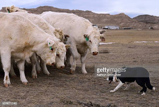 The herd of Charolais stops and keeps a close watch on Zoe seeming to wait for the border collie's next move Bob Wagner breeds and trains border...