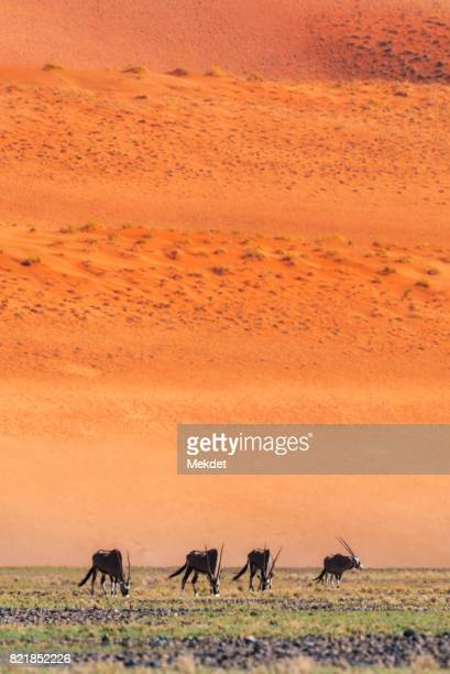 The Herd of Oryx On Field Against Sand Dunes of Namib Desert, Namibia