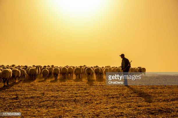the herd of sheep was removed at birth to graze in the pasture. temperature is high and ambient in dust - shepherd stock pictures, royalty-free photos & images
