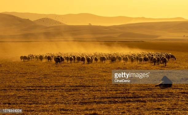 羊の群れは、牧草地で放牧するために出生時に取り除かれました。温度が高く、塵の周囲 - アナトリア ストックフォトと画像
