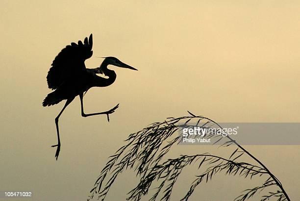 The heron dance