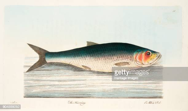 The Herring from A Treatise on Fish and Fishponds pub 1832
