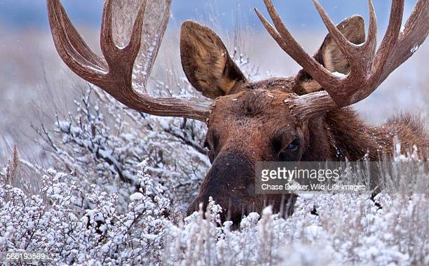 the hidden moose - jackson hole stock pictures, royalty-free photos & images