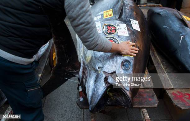 The highest priced fresh bluefin tuna auctioned from the year's first auction at Tsukiji Market center is seen on January 5 2018 in Tokyo Japan...