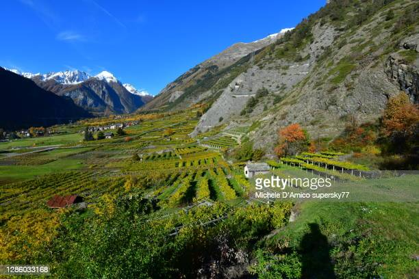 the highest vineyards in continental europe - valle d'aosta foto e immagini stock