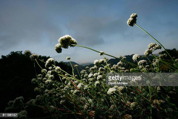The hills above Santa Ynez Canyon in Topanga State Park are seen on May 21 2008 in Los Angeles California California's entire state park system the...
