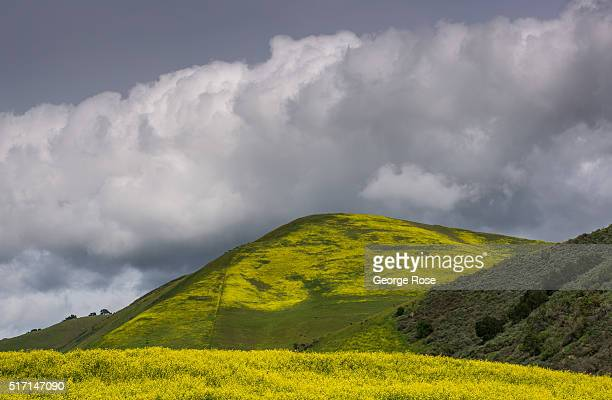 The hillsides along the Tepusquet Bench in Santa Maria Valley are covered with wild mustard as viewed on March 22 near Santa Maria California Much of...