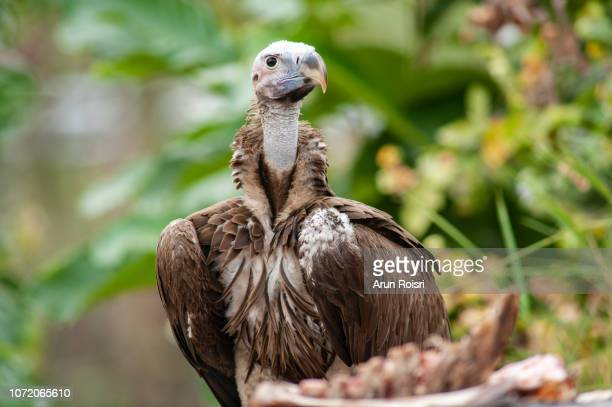 the himalayan griffon vulture is a typical vulture, with a bald white head, very broad wings, and short tail feathers. - buitre del himalaya fotografías e imágenes de stock