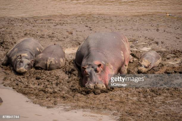 The hippo family rest in the mud