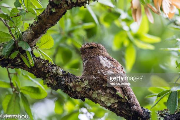 the hodgson's frogmouth - nightjar stock photos and pictures