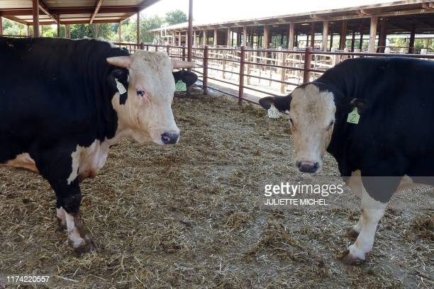 The hornless offspring of a gene- modified bull , alongside a horned control cow, are seen at the farm, at the University of California-Davis on...