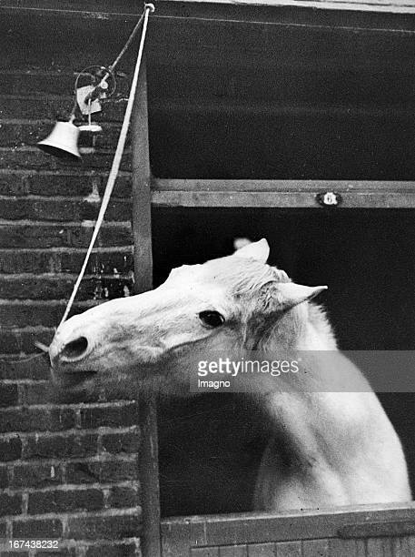 The horse Grey Boy rings the bell for his New Year dinner Home of rest for aged horses at Cricklewood London Great Britain Around 1930 Photograph...