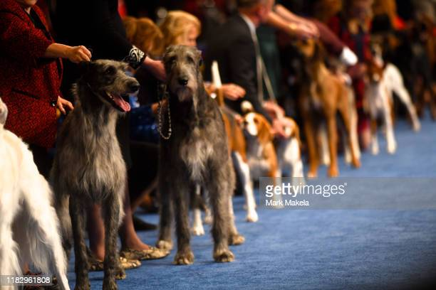 The hound group competes during the National Dog Show held at the Greater Philadelphia Expo Center on November 16 2019 in Oaks Pennsylvania Featuring...