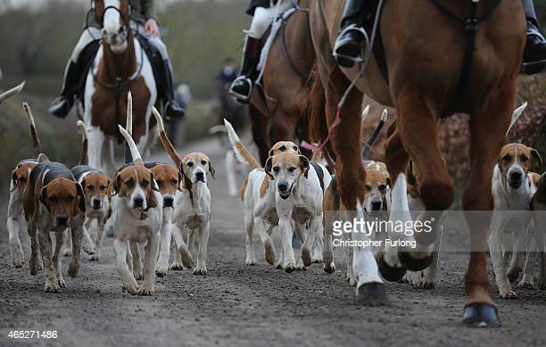 The Hounds and Horses of the Atherstone Hunt set out on a hunt on March 5 2015 in Bosworth England The hunt is celebrating its bicentenary this year...