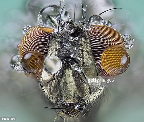 the housefly (also house fly, house-fly or common housefly) close-up - bug eyes stock photos and pictures