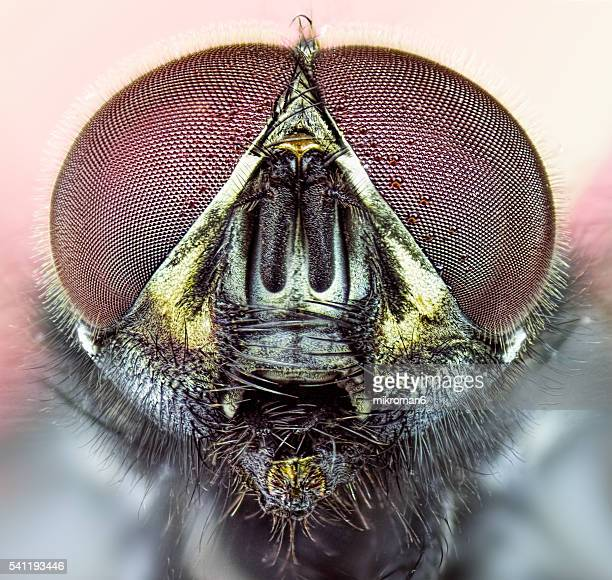 the housefly (also house fly, house-fly or common housefly) - housefly stock pictures, royalty-free photos & images