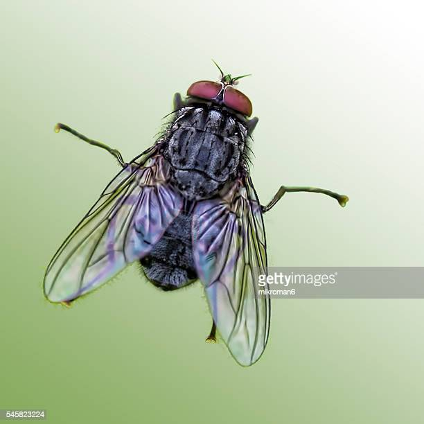 The housefly (also house fly, house-fly or common housefly)