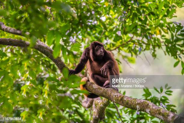 the howler monkey - costa rica stock pictures, royalty-free photos & images