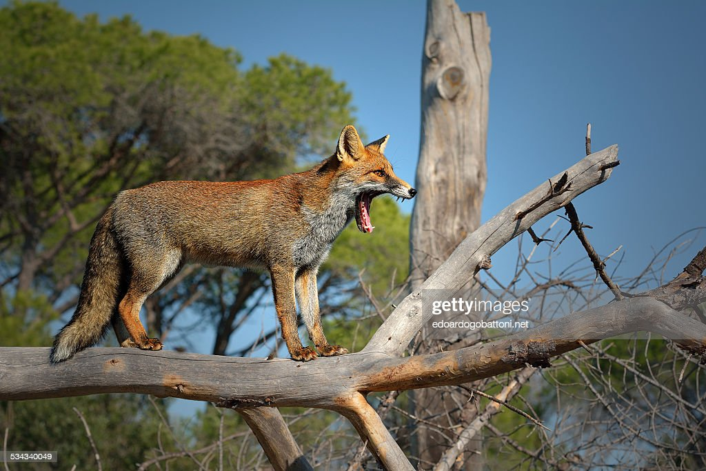 the howling : Foto stock