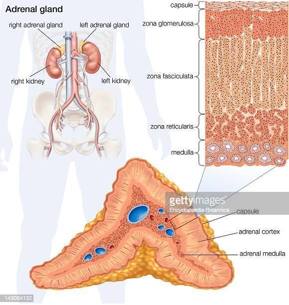 The Human Adrenal Gland
