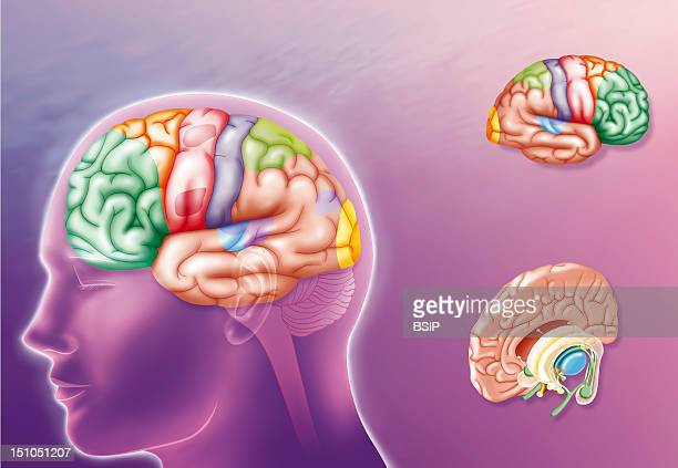 The Human Brain Illustration Showing The Different Areas Of The Brain's Left Hemisphere Left And Right Hemisphere Above Right See Image No 11869 05...