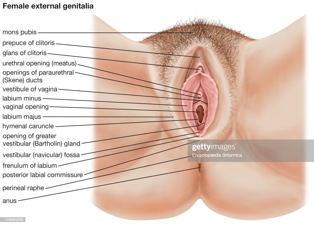 The Human Female External Genitalia