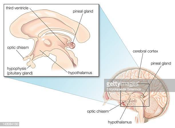 World's Best Pineal Gland Stock Pictures, Photos, and Images