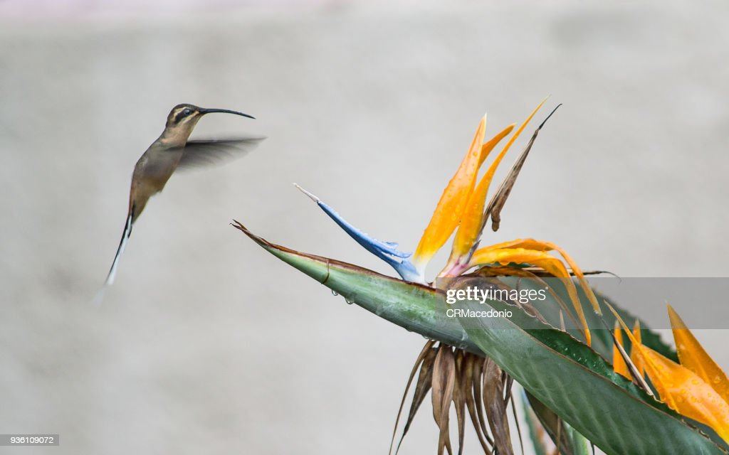 The hummingbird and the bird of paradise flower. : Stock Photo
