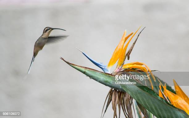 The hummingbird and the bird of paradise flower.