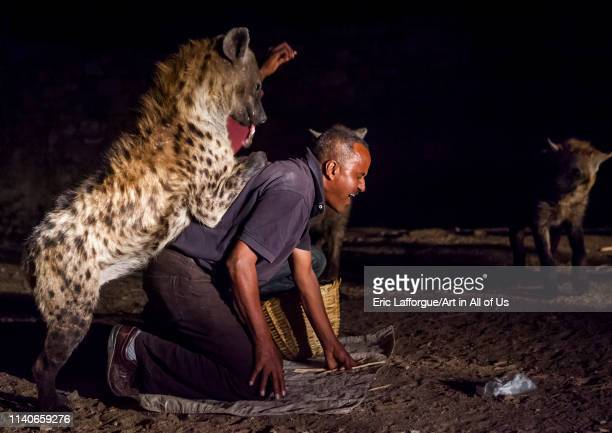 The hyena man of harar and tourist feed raw meat to wild hyenas Harar Ethiopia on January 10 2014 in Harar Ethiopia