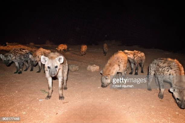 The Hyenas of Harar, Ethiopia - December 7, 2017