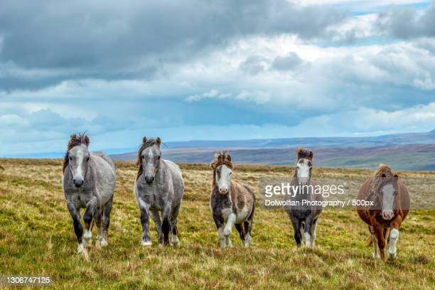 the icelandic horse in the mountains,merthyr tydfil,united kingdom,uk - horse stock pictures, royalty-free photos & images