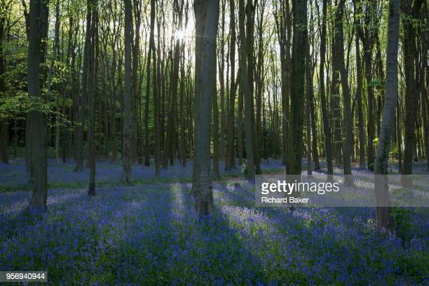 The idyllic beauty and peace of a bluebell wood on 5th May 2018 in North Somerset England