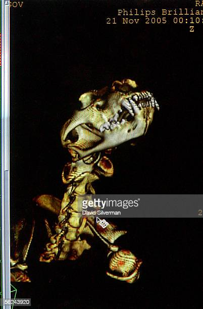 The images of the skeleton of Gov a 2 1/2yearold African lioness is seen on a monitor as she undergoes a CAT scan usually reserved for humans...