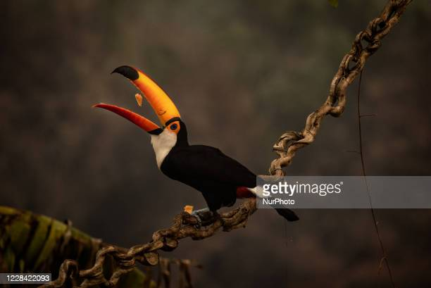 The impact on animals in Pocone, Mato Grosso, Brazil, on August 24, 2020. Toucan feeds on fruit offered at an inn at km 110 of the Transpantaneira...