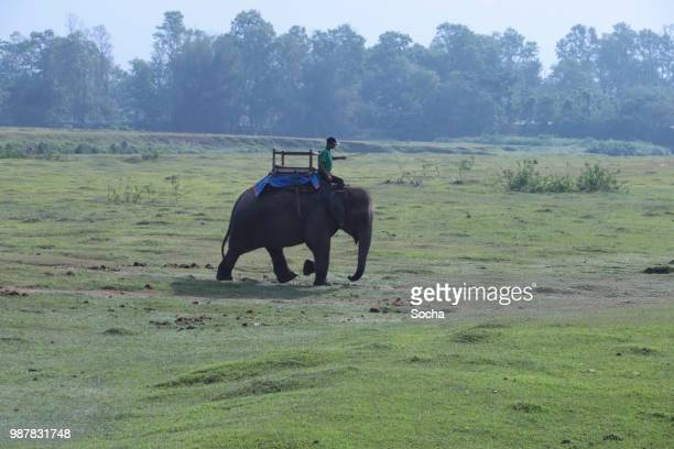 the indian elephant at work - terai stock pictures, royalty-free photos & images