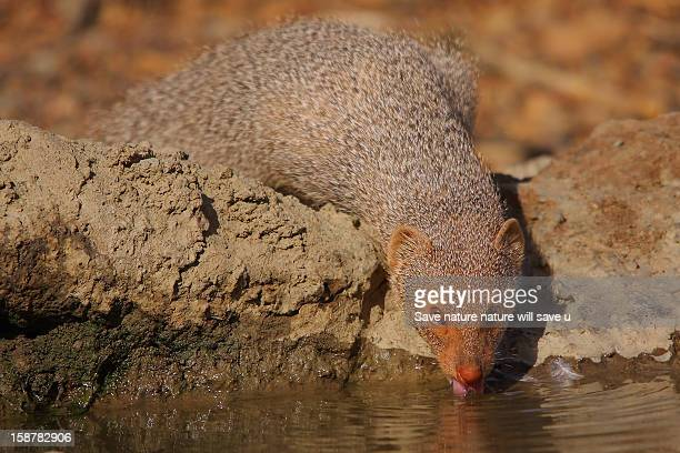 The Indian Gray Mongoose or Common Grey Mongoose (