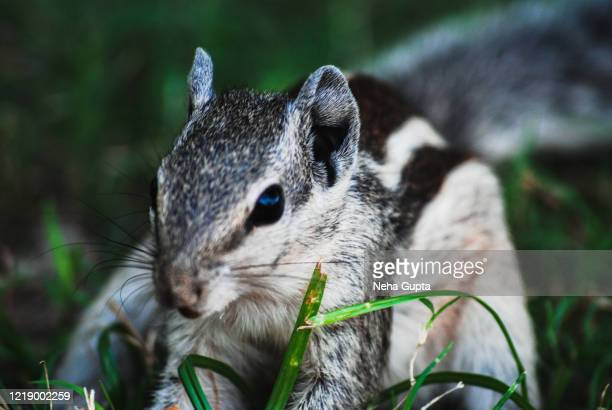 the indian palm squirrel or three-striped palm squirrel - closeup - neha gupta stock pictures, royalty-free photos & images